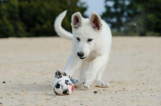 Witte Herder, Puppy, Hond Puppy