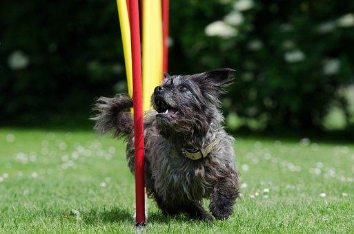 Hybrid, Slalom, Agility, Small Dog, Cute