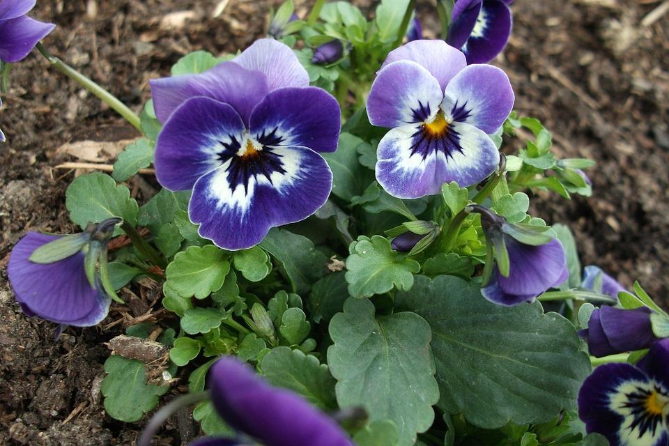 Prächtig Lila Frühling Frühblüher Volle - Kostenloses Foto auf Pixabay &BZ_81