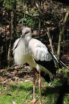 Whooping Crane, Bird, White, Black