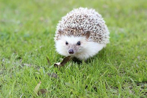 Hedgehog, Cute, Animal, Wildlife