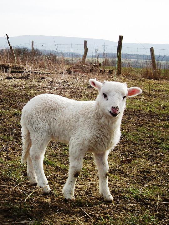 F r lamb ng gratis foto p pixabay - Photos de moutons gratuites ...