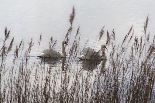 Swans, Lake, Birds, Nature, Animal