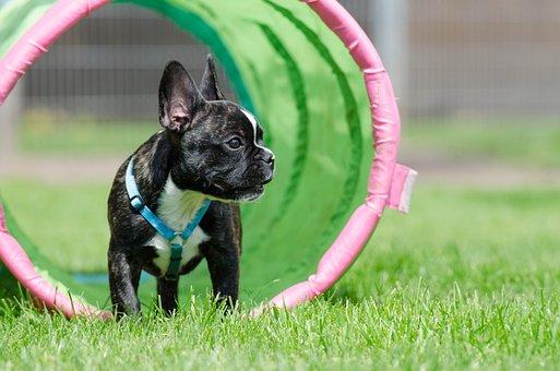 French Bulldog, Puppy, Tunnel, Meadow
