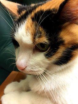 Calico, Cat, Feline, Kitten, Kitty