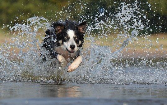 Border Collie, Jump, Water