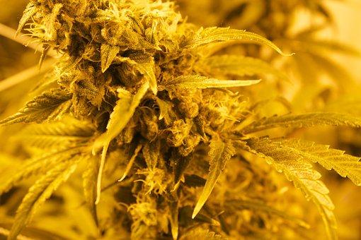 Mmj Maryjane Marijuana Herb Leaf Plan