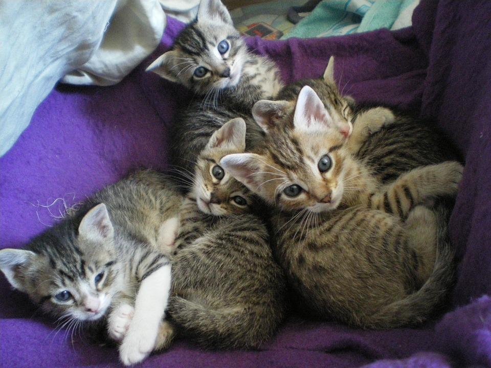 Kittens eyes free photo on pixabay kittens eyes cat voltagebd Images