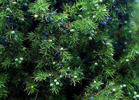 Enebro, Planta, Arbusto
