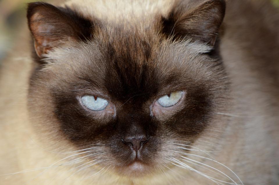 f0e1fd45038e Γάτα Μούτρο Βρετανική Κοντότριχη - Δωρεάν φωτογραφία στο Pixabay