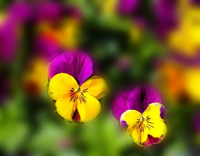 Flowers Pansy Spring 183 Free Photo On Pixabay