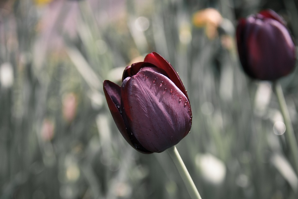 Tulipán, Flor, Púrpura, Flores