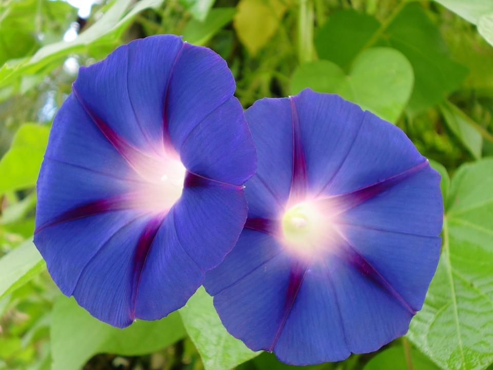 Blue Blossom Flower Plant 92