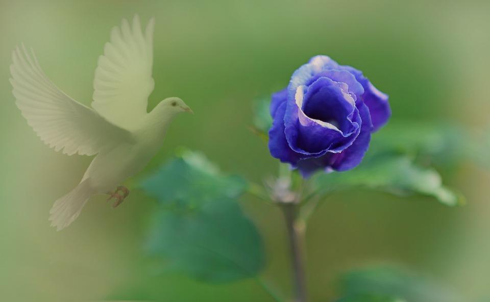 花, 入札, 霧, バラ, 植物, 塞ぎます, 甘い, 自然, 庭, 紫, スプリング, 白, 夏