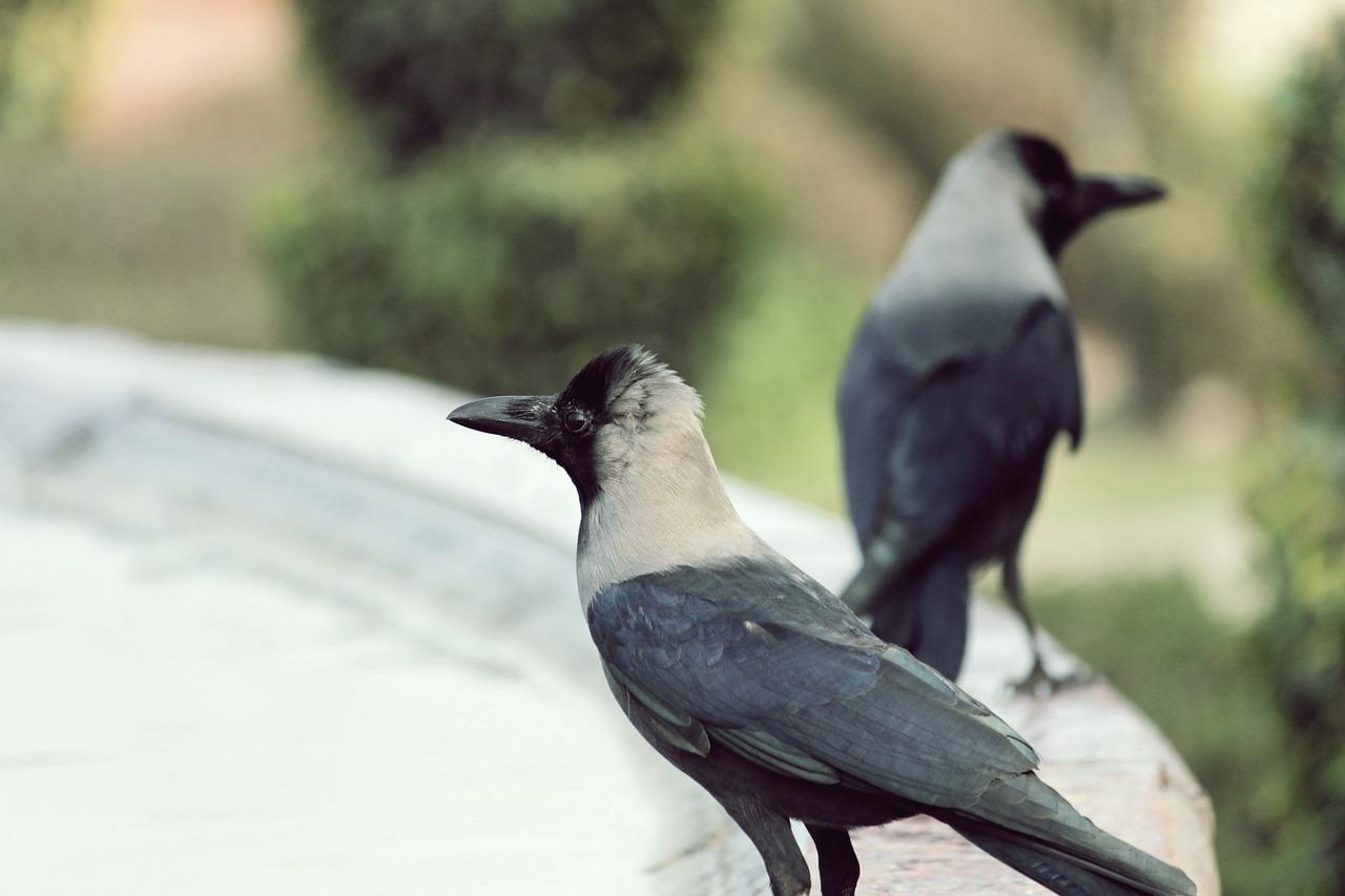 梦见蓝孔雀是什么意思? 梦见大孔雀是什么意思