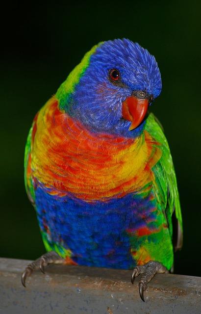 free photo rainbow lorikeet parrot colourful free