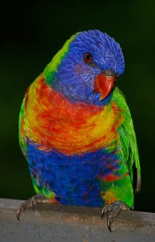 Rainbow Lorikeet, Parrot, Colourful