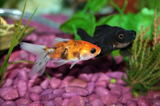 Goldfish Fish Aquarium Underwater Fishbowl