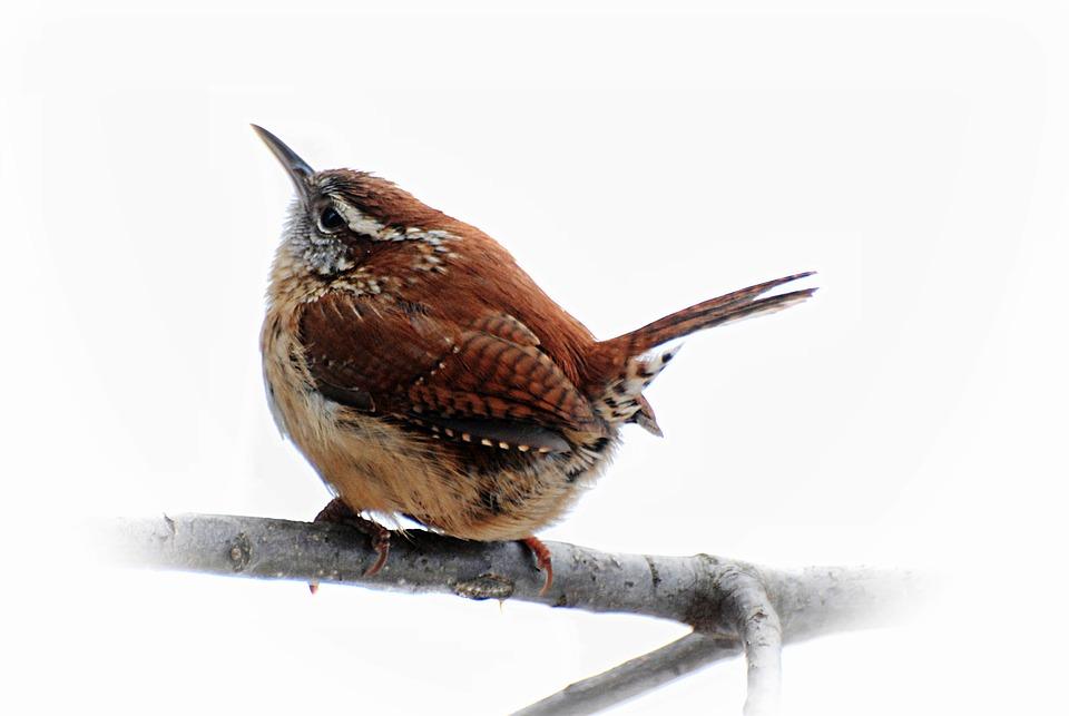 Birds Carolina Wren Brown Free Photo On Pixabay
