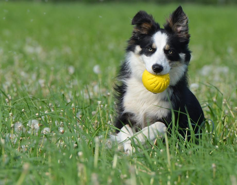 Image result for 犬 border collie ボールをする