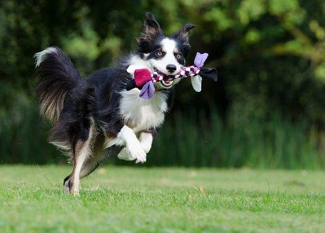 Border Collie, Running Dog, Playful