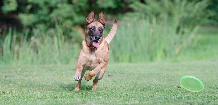 Belgian Malinois Puppies For Sale in North Dakota