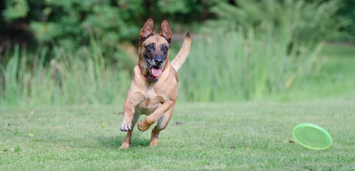 Belgian Malinois Puppies For Sale in Virginia
