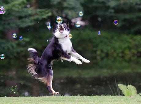 Soap Bubbles, Border Collie