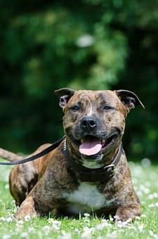 American Staffordshire Terrier, Pit Bull