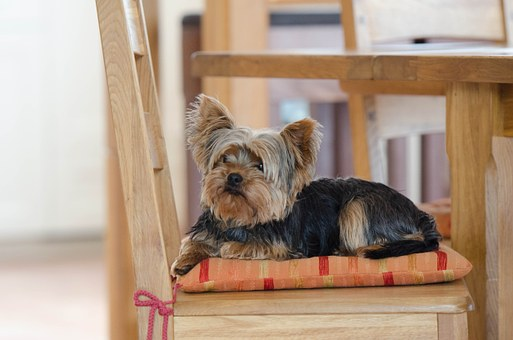 Teacup Yorkie Puppies for sale in Mississippi