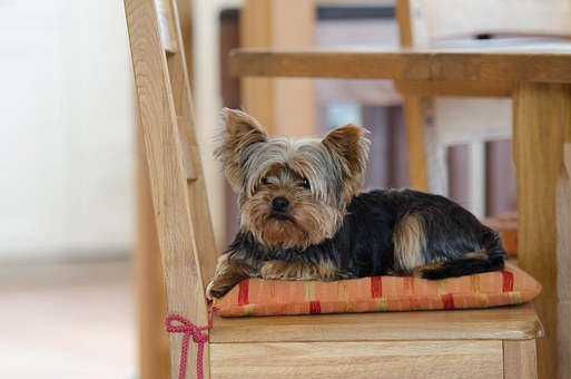 Yorkie Yorkshire Terrier Cute Dog Yorkie Y