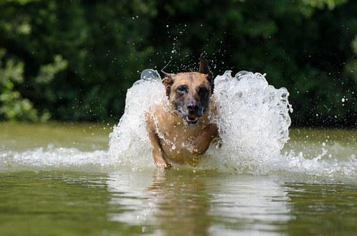 Malinois, Water, Belgian Shepherd Dog