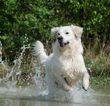 Golden Retriever, Water, Dog, Summer
