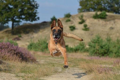 Malinois, Jump, Powerful, Summer