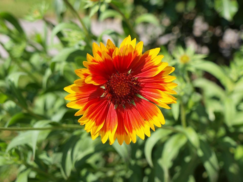 Photo gratuite couverture fleur plantes cocarde for Couverture plante hiver