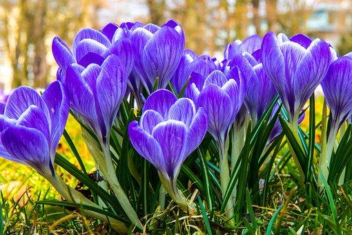 Krokus, Květ, Krokusy, Jaro, Nachový