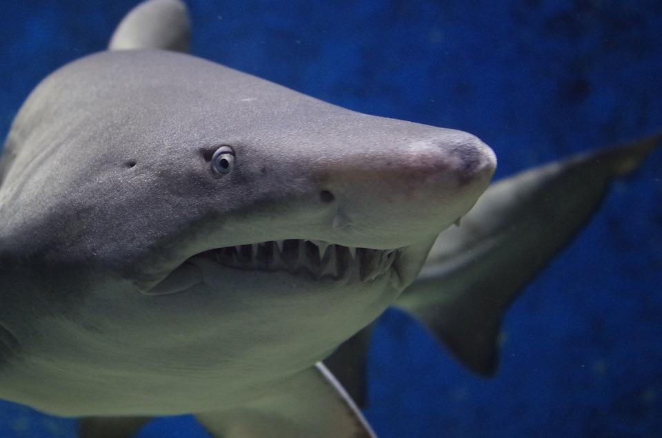 サメ、動物、ハザード、歯、魚、海、自然、ビーチ