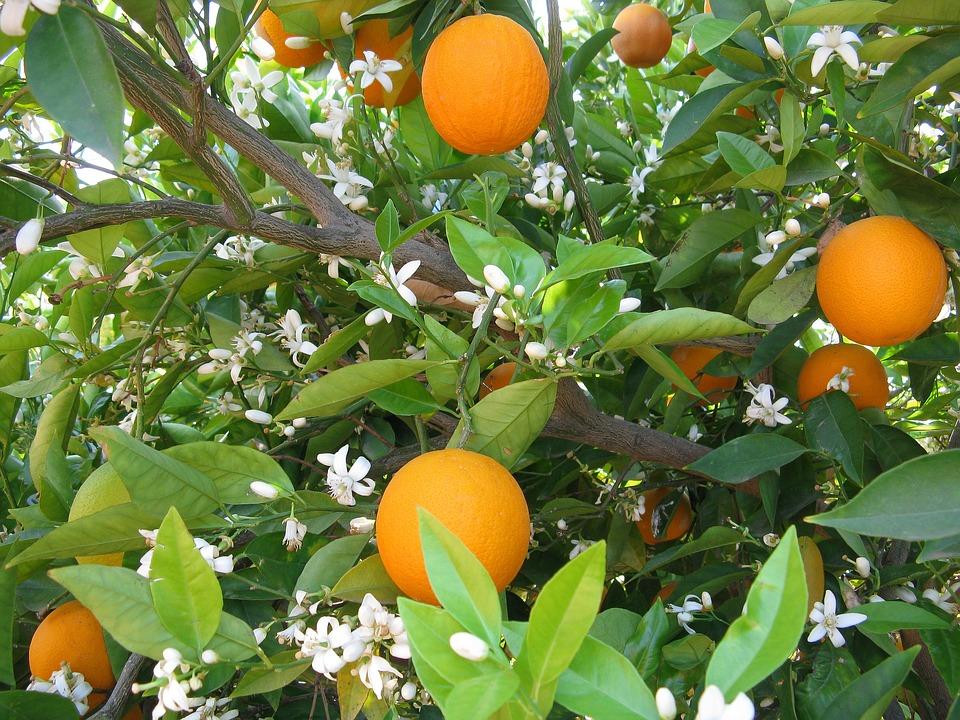 orangen orangenbaum baum kostenloses foto auf pixabay. Black Bedroom Furniture Sets. Home Design Ideas