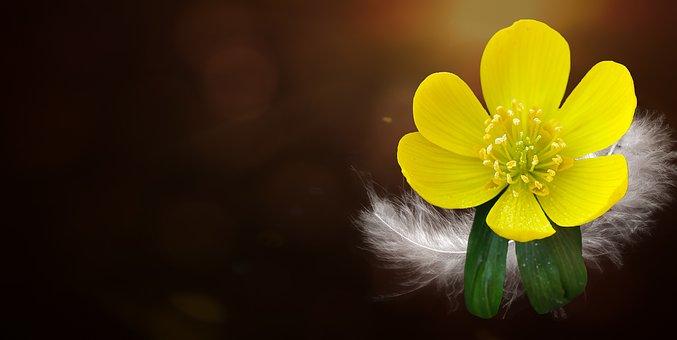 ポテンティラ, 小鬼, 花, 植物, 春の前触れ, 早期に咲く花