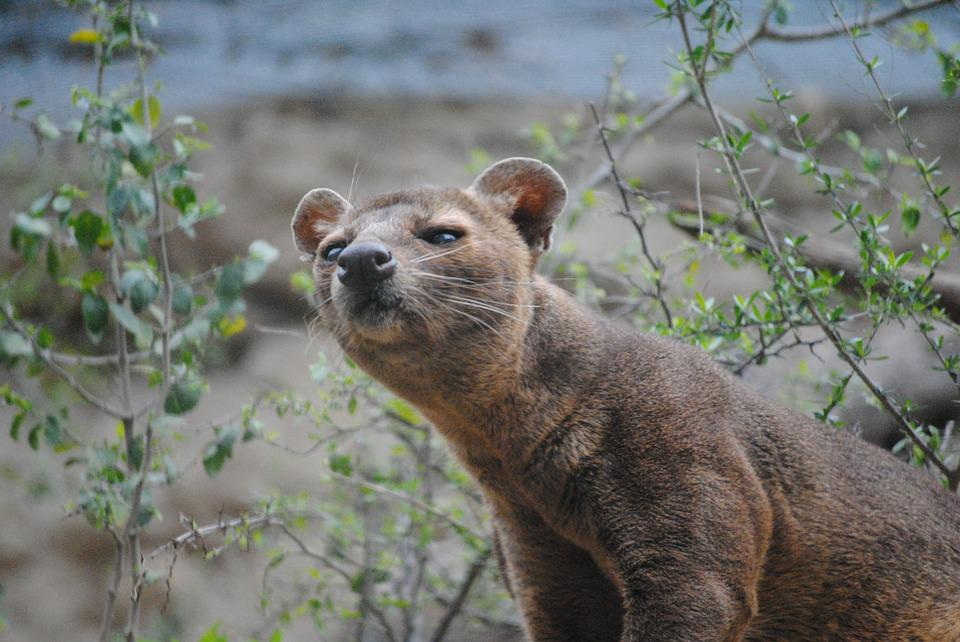 fossa mammal madagascar free photo on pixabay