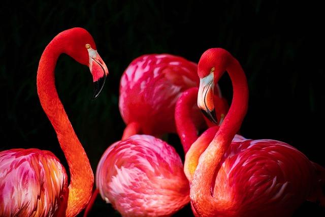 free photo flamingo phoenicopterus flamingos free