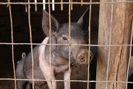 Piglet, Pig, Pig Pen, Pig Sty, Pork