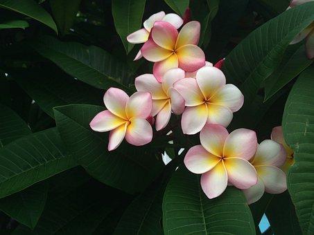 Fleur De Frangipanier, Vacances, Hawaii