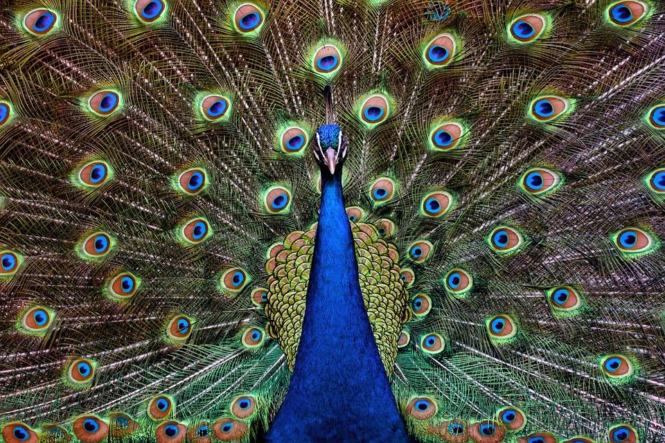Foto gratis: Pavo, Real, Pavo Real, Ave, Plumas - Imagen gratis en Pixabay - ...