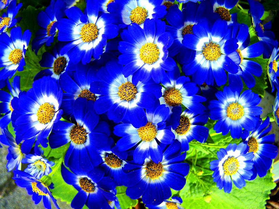 Spring flower blue free photo on pixabay spring flower blue garden mightylinksfo