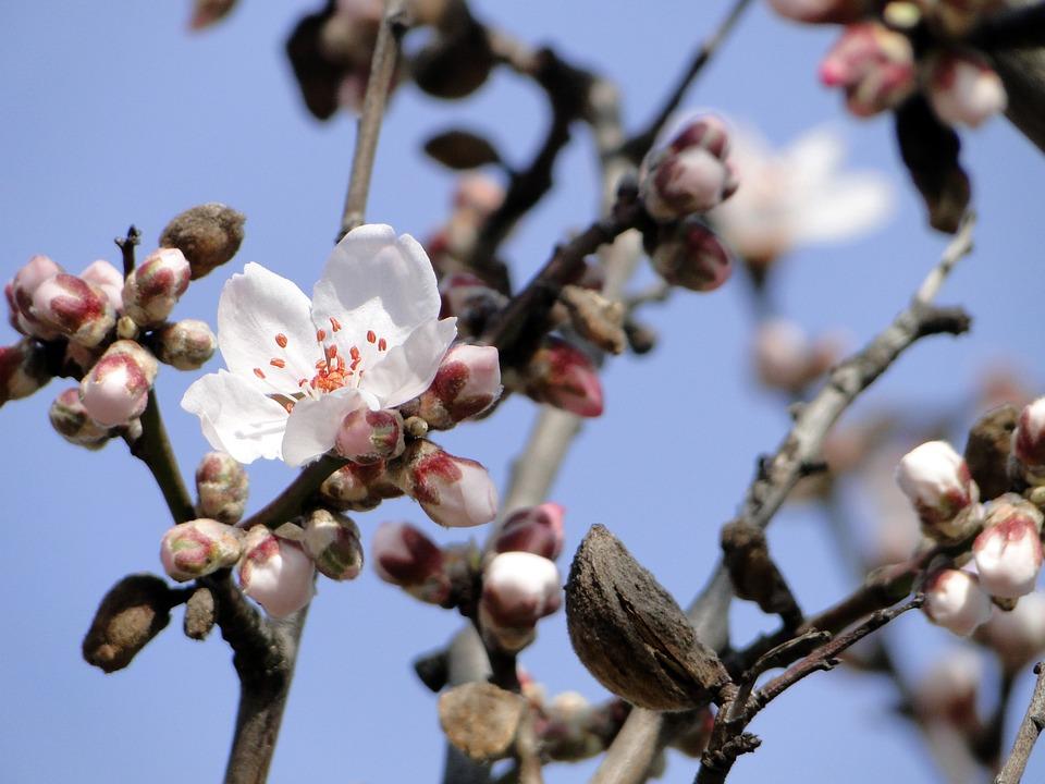 Almond Blossom Flowers Tree 183 Free Photo On Pixabay