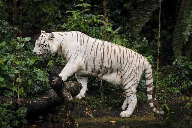 Free Photo White Tiger Zoo Singapore Tiger Free