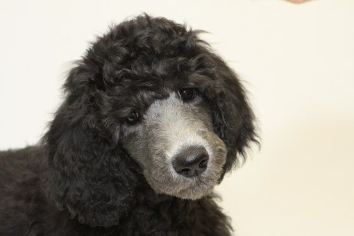 Puppy, Standard Poodle, Dog, Puppy
