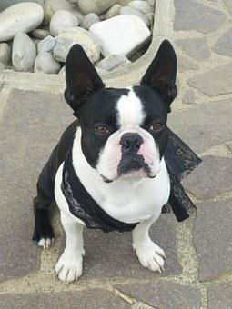 Dog, Boston Terrier, French Bulldog