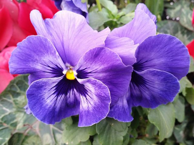 free photo pansy flower purple nature free image on